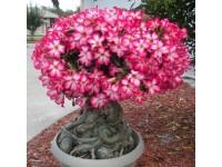 Belezas da Serra: A Rosa do Deserto